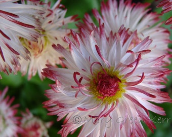Nature Photography - English Painted Daisies
