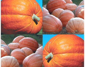 10 x DILL'S ATLANTIC GIANT Pumpkin seeds ~ Record Breaking At 1689 Pounds  - 120 Days