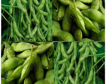 Japanese Edamame seeds ~~ Soy Bean HIGH IN PROTEIN -- Young Soy Bean - 80 - 90 Days