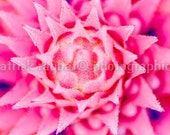 Pink Explosion Flower Photo Instant Digital Download Fine Art Photography Macro Close-Up Flower Photography