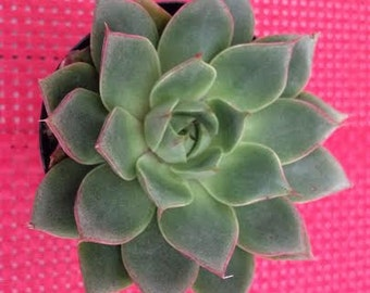 Small Succulent Plant Echeveria Parva