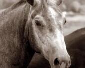 Handsome Horse Photo; Equine Photography; Horse Photography - RomanoLeatherPhoto