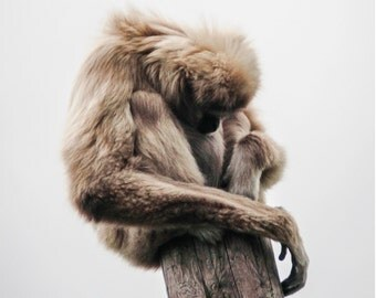 Gibbon on a post - Photo Print
