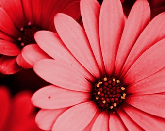 Red Daisy Wall Art Print, Nature Photography, Pink Flower Photography