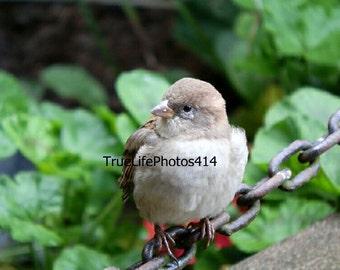 Sparrow On A Chain