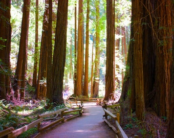 Walking Path in Muir Woods National Monument, Muir Woods California