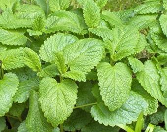 Lemon balm organic herb seeds 0.70gr 1200 - 1300 seeds