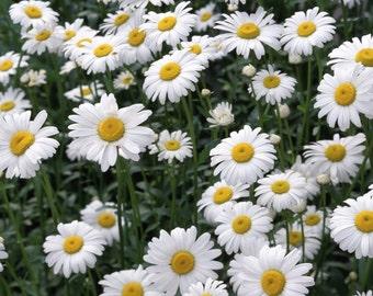 Chamomile organic seeds 1.50gr 1100 - 1200 seeds