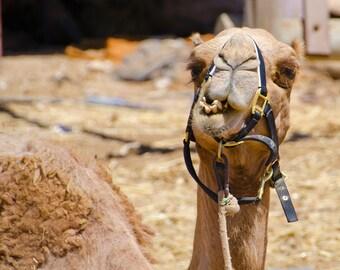 Camel Portrait - closeup!