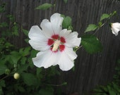 Rose of Sharon, potted plant
