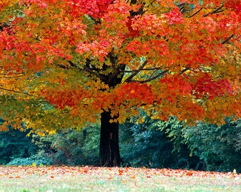 Fall Maple Tree Photograph, Fine Art Print, Nature Photography, Wall Art, Autumn, Autumn Perfection