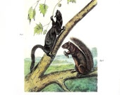 Weasel Like Squirrel, Large Louisiana Black Squirrel - Audubon Animal Print -  1989 Vintage Book Page for Framing  - Naturalist Illustration