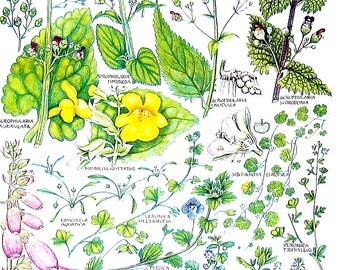 1965 Botanical Print - Water Figwort, Mudwort, Musk, Foxglove - British Flowers Vintage Book Plate P64