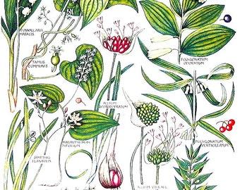 1965 Botanical Print - Black Bryony, Wild Asparagus, Wild Leek, May Lily - British Flowers Vintage Book Plate P85