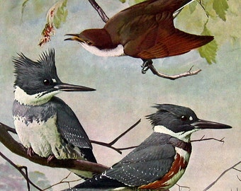 Bird Print - Black Billed Cuckoo, Eastern Belted Kingfisher, Hairy Woodpecker, Downy Woodpecker - 1959 Vintage Bird Book Page