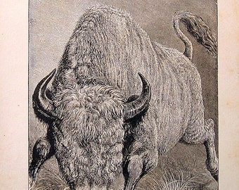 Animal Print - Auroch or European Bison - 1880 Antique Book Page - Black and White - 10 x 8 For Framing