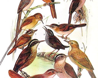 Bird Print - Chotoy Spinetail, Wren-Like Rushbird, Barred Ant Shrike, Spectacled Antbird, Ant Pitta - Vintage 1973 Encyclopedia Book Page