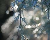 Wintertime Blue Juniper berries bokeh rich all aglow 8x12 Panoramic Photograph Print