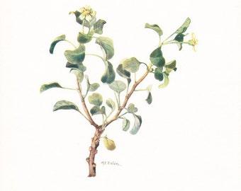 1917 Botany Print - Trichosterigma Benedictum - Vintage Antique Flower Art Illustration Book Plate for Framing