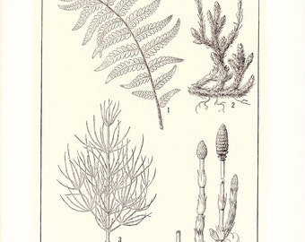 1903 Botany Print - Fern Club Moss - Vintage Antique Art Illustration Book Plate Natural Science Great for Framing 100 Years Old