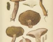 Bovine Bolete, Vintage Mushroom Print, 1954, Edible Fungi (Plate 22) Mycology Painting, Litho, Fungus, Otto Usak