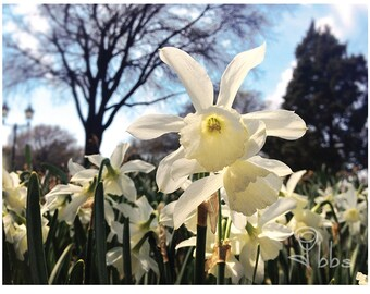 flower photograph, white daffodils photo, nature photography, daffodil wall art, white flowers photo, botanical photograph, flower art