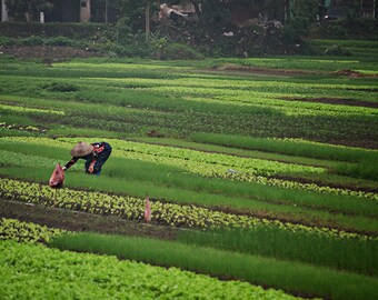Woman Farming - Vietnam Photography - Travel Photography - 8x12 fine art photo - woman in green fields