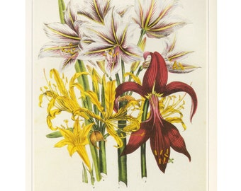 Jane Loudon Yellow and Red Lillies Print Book Plate SALE Buy 3, get 1 Free