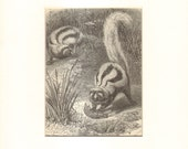 1892 Antique Matted Engraving of the Striped Polecat