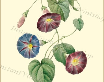 MORNING GLORY - Redoute Vintage Botanical 8x10 digital download