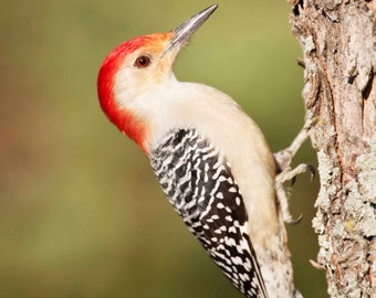 Red-bellied Woodpecker Borderless  Fine Art Photography, Bird Art, Wildlife Art,bird,woodpecker,animal,wildlife,nature,made in Ohio,