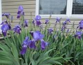10 HERITAGE IRIS BULBS! Purple Bearded - Old Style!