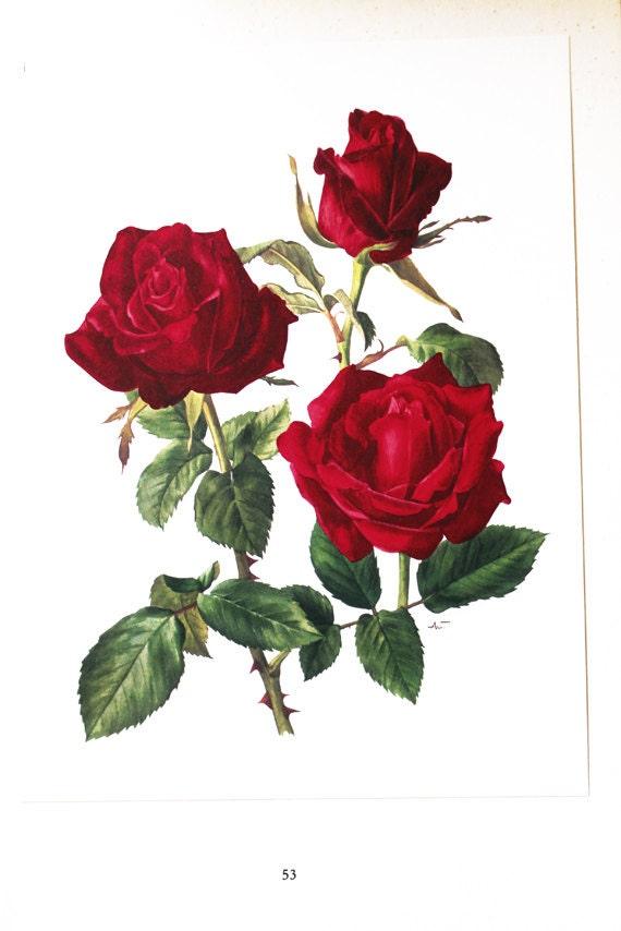 Red Rose Botanical Art 1962 Vintage Red Roses Art Vintage