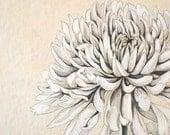 Watercolor Botanical Illustration. Amazing White Chrysanthemum. Art Print