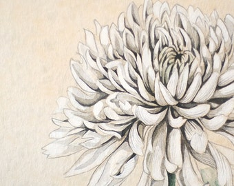 Watercolor Botanical Illustration. Amazing White Chrysanthemum. Art Print