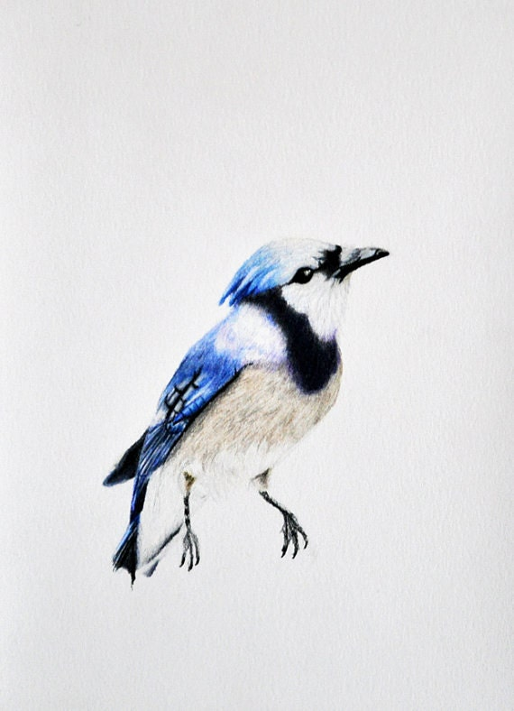 Blue jay bird flying drawing