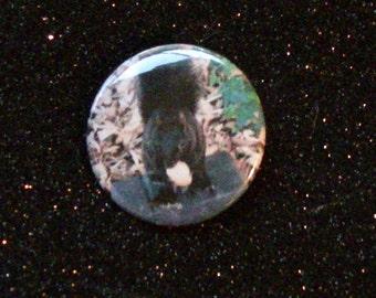 Sweet Black Squirrel Munching on a Walnut- Pinback Button- Original Photo