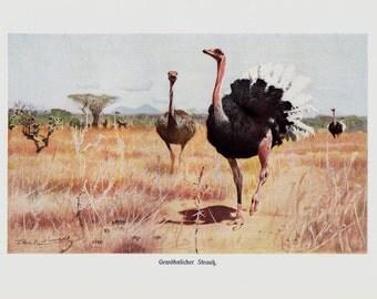 1910 Antique Ostrich print,