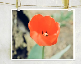 Picasso's Wish - botanical, fine art photography, film, red flower photography, red tulip photography