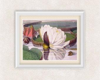 White Lotus Flower BOTANICAL ART 8x10 PRINT - Item #119