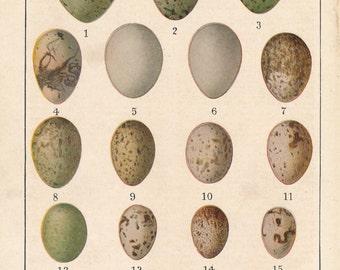 1924 Antique Print, Eggs of North American Birds
