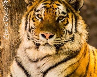 Photo Art - Wildlife Photography - Bengal Tiger