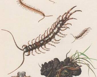 1956 Centipedes Antique Print, Entomology, Myriapoda, Insects, Chilopoda, Lithobiidae, Lithobius forticatus, Geophilus longicornis