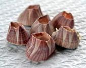 Balanes coquillages du Pacifique côte 62C