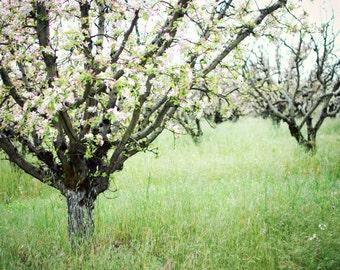 "Apple orchard photograph farmhouse decor green landscape large wall art fruit trees in bloom country rustic art ""Gravenstiens"""