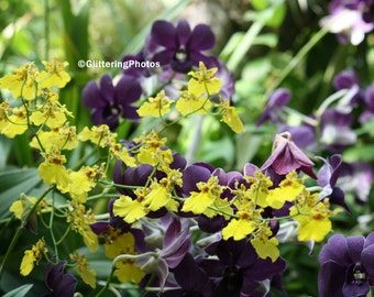 Yellow, Purple, Orchids, Phipps Conservatory, Pittsburgh, PA, Fine Art, Photography, Print, Glossy, 8 x 10