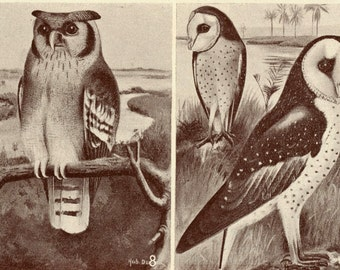 1952 Vintage Tinted Print of Birds of the Belgian Congo