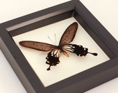 Real Preserved Butterfly Black Windmill Display Atrophaneura coon