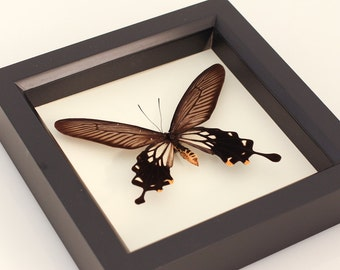 Real Butterfly display Black Windmill Atrophaneura coon