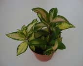 "FLAT LEAF Variegated Carnosa Compacta in 4"" pot - Hoya Hindu Rope - Exotic Angel Plant - Wax Plant"